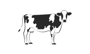 vacche in lattazione / lactating cows